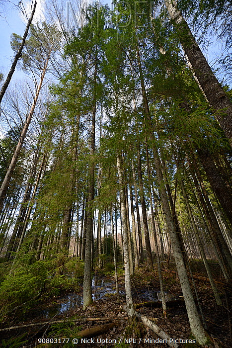 Mixed wet woodland including Aspen (Populus tremula) and Downy birch (Betula pubescens). Inhabited by rare surviving Siberian flying squirrel (Pteromys volans) population. Near Lisaku, Estonia. April 2018.
