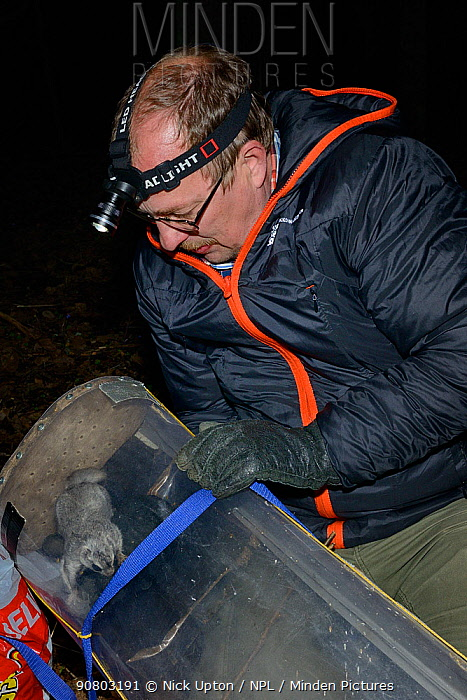 Researcher wearing thick gloves collecting Siberian flying squirrel (Pteromys volans) from trap prior to fitting radio collar. Muraka Forest Reserve, Lisaku, Estonia. April 2018. Model released.