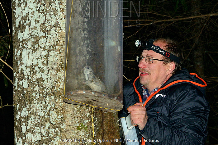 Researcher inspecting a Siberian flying squirrel (Pteromys volans) caught in trap on old Aspen (Populus tremula) tree with occupied nest hole. Muraka Forest Reserve, near Lisaku, Estonia. April 2018. Model released.