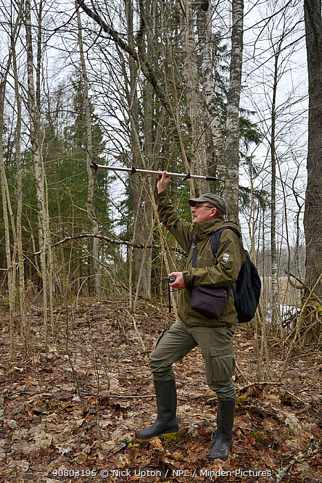 Researcher radio tracking Siberian flying squirrel (Pteromys volans) in mature mixed forest. Muraka Forest Reseve, near Lisaku, Estonia. April 2018. Model released.