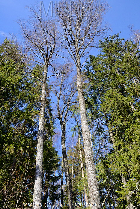 Downy birch (Betula pubescens) trees in mixed woodland, the tree on the left houses a Siberian flying squirrel (Pteromys volans) nest hole. Near Lisaku, Estonia. April.