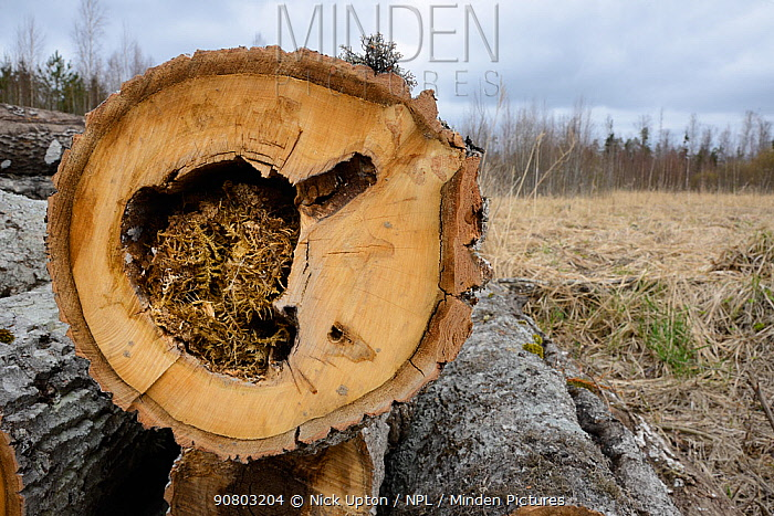 Felled Aspen (Populus tremula) trees with tit nests in hollows. Treeholes suitable for Siberan flying squirrel (Pteromys volans). Near Lisaku, Estonia. April 2018.