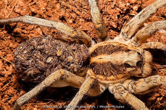 Wolf spider (Lycosidae) female with young on back. Captive.