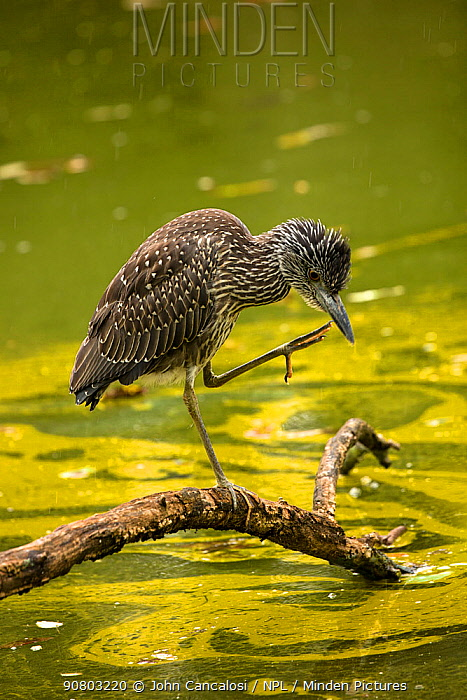 Black-crowned night-heron (Nycticorax nycticorax) juvenile preening whilst standing on log. Toxin forming Blue-green algae (Woronichinia naegeliana) in water behind. Maryland. October 2018.