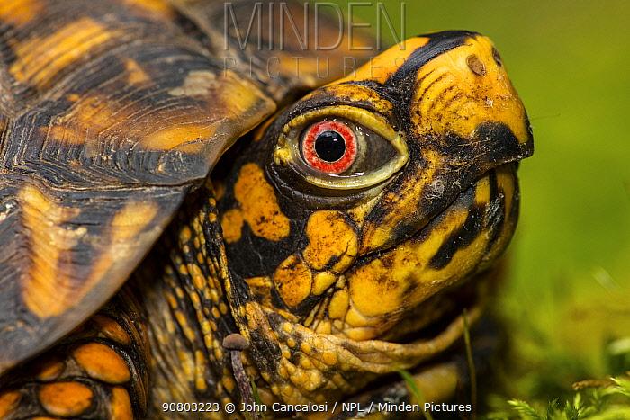 eastern box turtle (Terrapene carolina carolina) , adult male, Maryland
