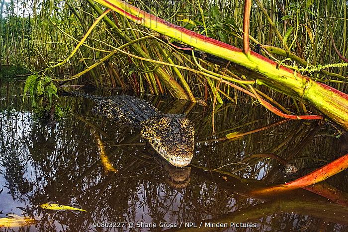 Cuban crocodile (Crocodylus rhombifer) in a cenote in Cienaga de Zapata National Park. Cuba. Critically endangered species.