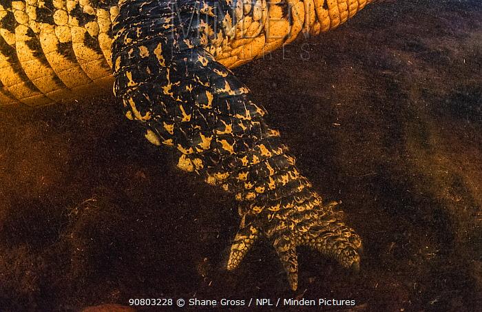 Cuban crocodile (Crocodylus rhombifer) arm photographed in a cenote, Ci�naga de Zapata National Park. Cuba, Critically endangered species.