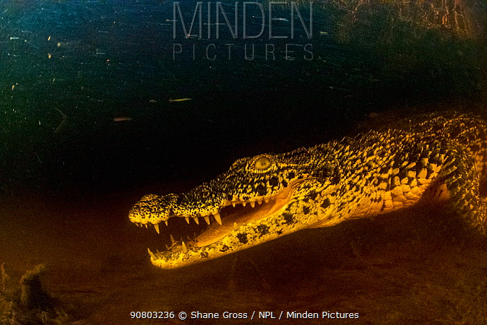Cuban crocodile (Crocodylus rhombifer) in cenote in Cienaga de Zapata National Park, Cuba. Critically endangered species.
