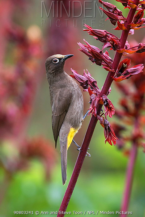 Cape bulbul (Pycnonotus capensis) feeding on flowers, Kirstenbosch Botanical Gardens, Cape Town, South Africa, September
