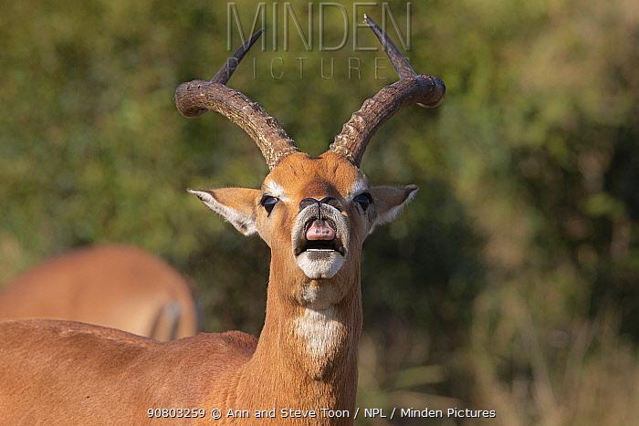 Impala (Aepyceros melampus) ram exhibiting flehmen response, iMfolozi game reserve, KwaZulu-Natal, South Africa, August