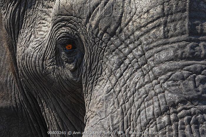 African elephant (Loxodonta africana) eye and skin close up, Zimanga private game reserve, KwaZulu-Natal, South Africa, August