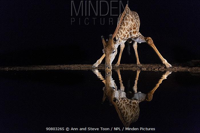 Giraffe (Giraffa camelopardalis) drinking at night, Zimanga private game reserve, KwaZulu-Natal, South Africa August