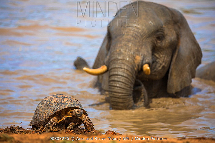 Leopard / mountain tortoise (Stigmochelys pardalis) with elephant bull (Loxodonta africana) behind in water, Addo elephant national park, Eastern Cape, South Africa, September