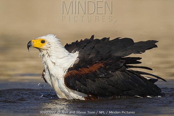 African fish eagle (Haliaeetus vocifer) bathing, Chobe river, Botswana, August