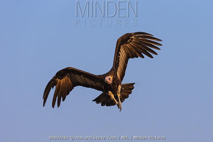 Hooded vulture (Necrosyrtes monachus) flying, Khwai conservancy, Botswana, August
