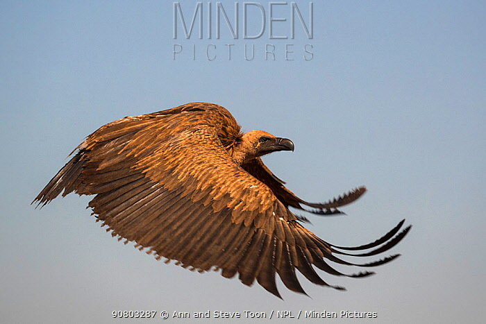 Whitebacked vulture (Gyps africanus) flying, Zimanga private game reserve, KwaZulu-Natal, South Africa, September