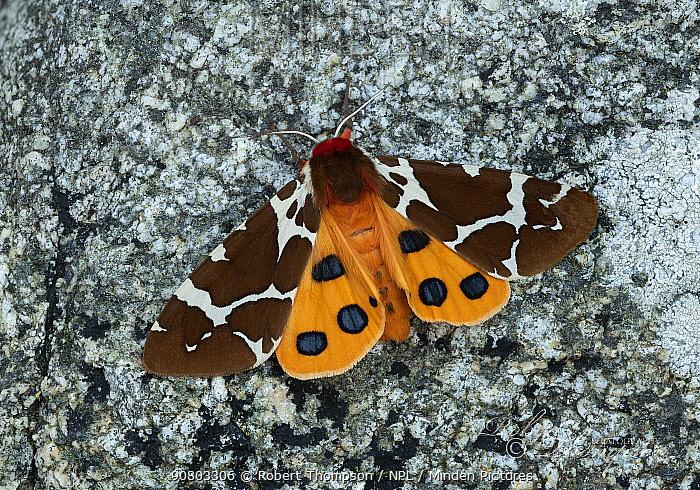 Great tiger moth (Arctia caja americana) Lac-Drolet, province, Quebec, Canada November