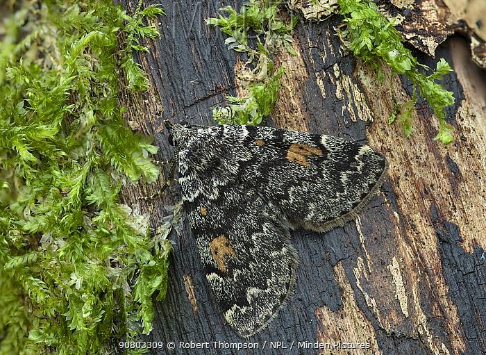 Litter moth (Idia calvaria) South of Ceske Budejovice, Czech Republic. October