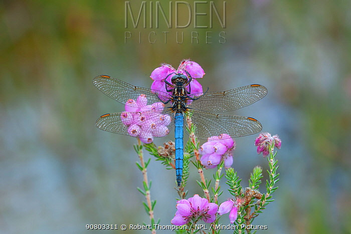 Keeled skimmer dragonfly (Orthetrum coerulescens) male resting on Erica flower, Leitrim Lodge, Mourne Mountains, Co. Down, Northern Ireland. July