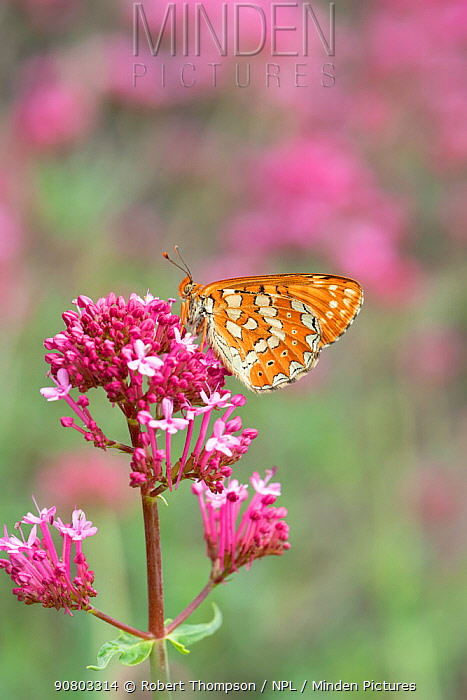 Marsh fritillary butterfly (Euphydryas aurinia ssp beckeri) on valerian flower, French Pyrenees, France. May