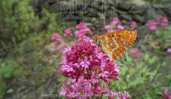 Marsh fritillary butterfly (Euphydryas aurinia ssp beckeri) on valerian flower, French Pyrenees, France. May