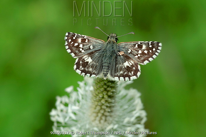 Oberthur's grizzled skipper (Pyrgus armoricanus) on plantain flower, South of Casteil, French Pyrenees, France. May