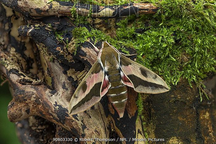Spurge hawk-moth (Hyles euphorbiae) male, Dnipro City, Ukraine. November.