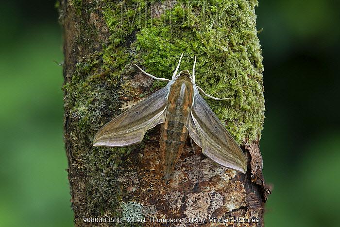 Moth (Theretra japonica) male, Amurskaya Blagoveshchensk, Russia, August.