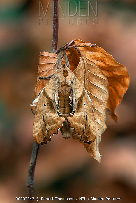 Blinded sphinx (Paonias excaecatus) moth camouflaged on leaves, Lac-Drolet Province, Quebec, Canada. November