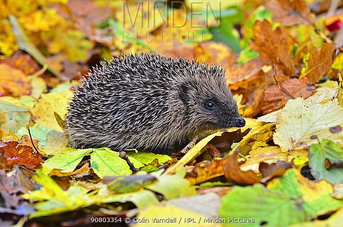 Hedgehog (Erinaceus europaeus) in autumn. Dorset, UK, October.