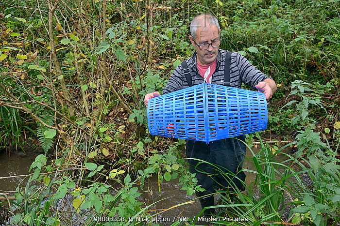 Richard Spyvee inspects a baited trap that has caught many White-clawed crayfish (Austropotamobius pallipes) under license in a well stocked stream for translocation of healthy Crayfish to an ARK site, safe from Signal crayfish (Pacifastacus leniusculus) and Crayfish plague, England, UK, October 2018. Model released.