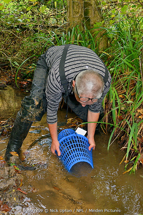 Richard Spyvee lifting a baited trap set for White-clawed crayfish (Austropotamobius pallipes) under license in a well stocked stream for translocation of healthy Crayfish to an ARK site, safe from Signal crayfish (Pacifastacus leniusculus) and Crayfish plague, England, UK, October 2018. Model released.