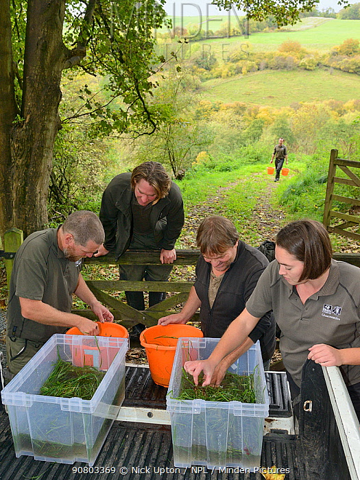 GWT team placing White-clawed crayfish (Austropotamobius pallipes) collected from a well-stocked stream in buckets for release at an ARK site, safe from Signal crayfish (Pacifastacus leniusculus) and Crayfish plague, UK, October 2018. Model released.