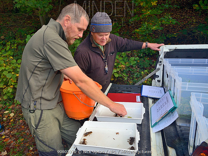 John Field placing White-clawed crayfish (Austropotamobius pallipes) in an inspection tray for sexing and health checks ahead of translocation to an ARK site, safe from Signal crayfish (Pacifastacus leniusculus) and Crayfish plague, England, UK, October 2018. Model released.
