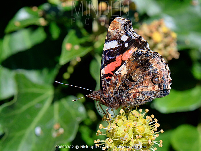 Red Admiral butterfly (Vanessa atalanta) nectaring on Ivy flowers (Hedera helix) in a garden, Wiltshire, UK, October.