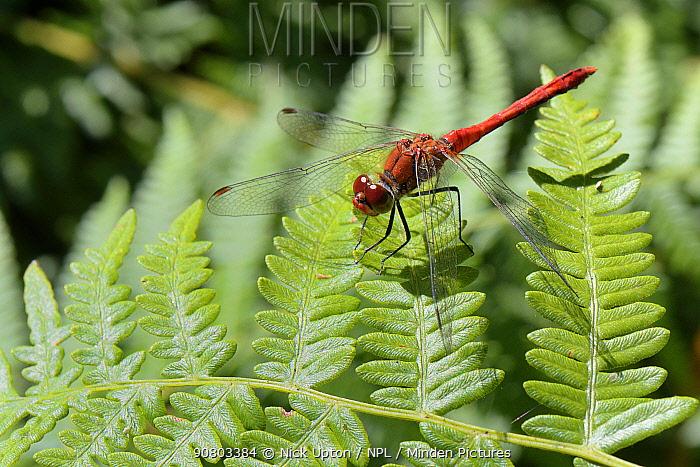 Male Ruddy darter dragonfly (Sympetrum sanguineum) sun basking on a Bracken leaf (Pteridium aquilinum), Studland Heath, Dorset, UK, July.