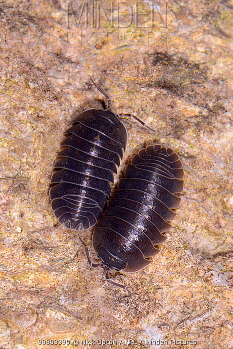 Two Southern pill woodlice (Armadillidium depressum) on an old garden wall at night, Wiltshire, UK, September.