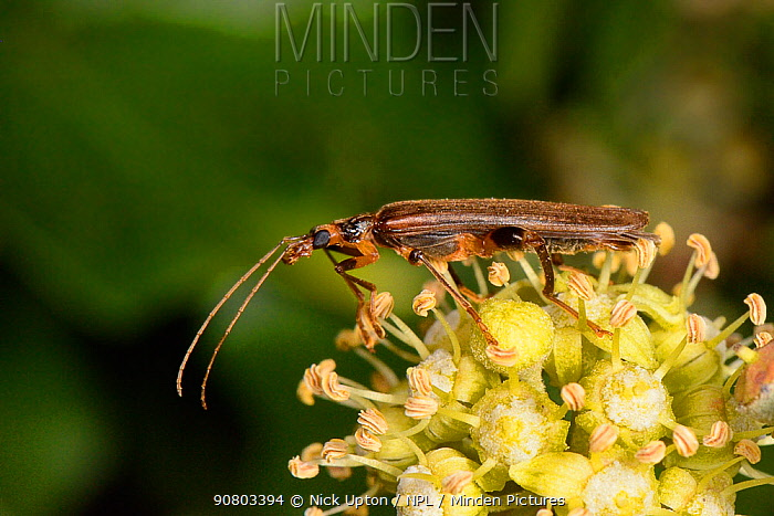 Thick-legged flower beetle / False blister beetle (Oedemera femoralis) male on Ivy (Hedera helix) flowers at night, Wiltshire, UK, September.