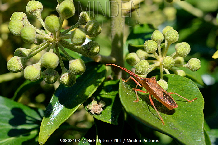 Box bug (Gonocerus acuteangulatus) on Ivy leaves in a garden, Wiltshire, UK, September. This nationally endangered bug is spreading northwest from its former toehold in southeast UK, originally on Box bushes at Box Hill Surrey.