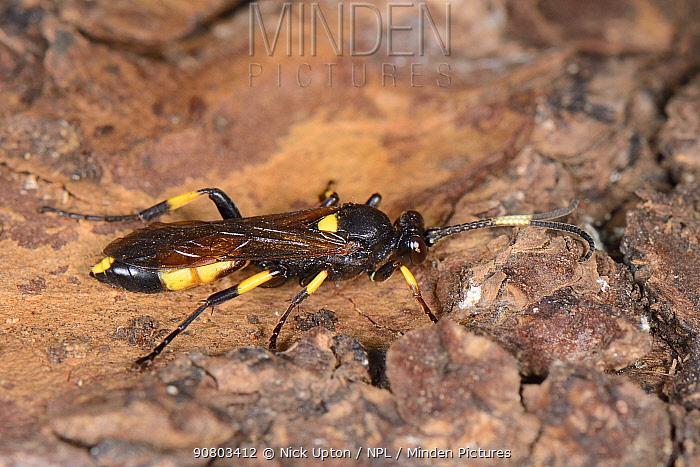 Female Ichneumon wasp (Ichneumon stramentor) found in a log pile where it was hibernating, Wiltshire garden, UK, January.