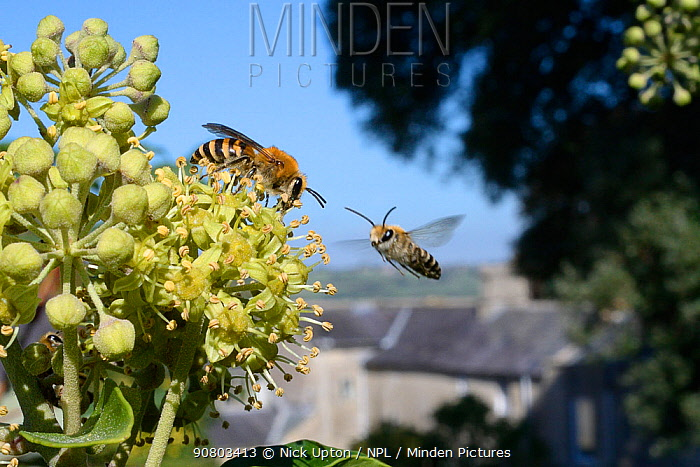 Ivy bee (Colletes hederae) feeding on Ivy flowers (Hedera helix) as another flies in, Wiltshire garden, UK, September.