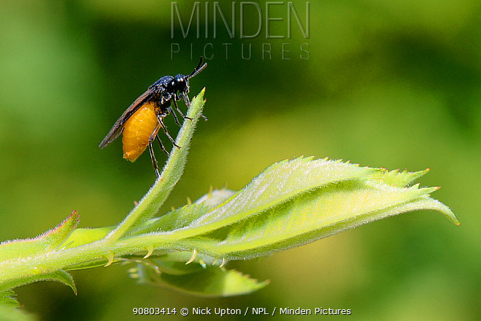 Large rose sawfly (Arge pagana) preparing to lay eggs on a Rose bush in a garden, Wiltshire, UK, July.