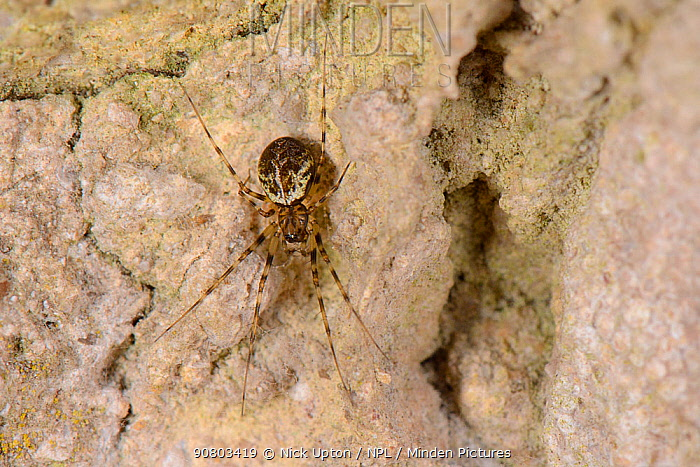Invisible spider (Drapetisca socialis) on an old house wall, Wiltshire, UK, September.