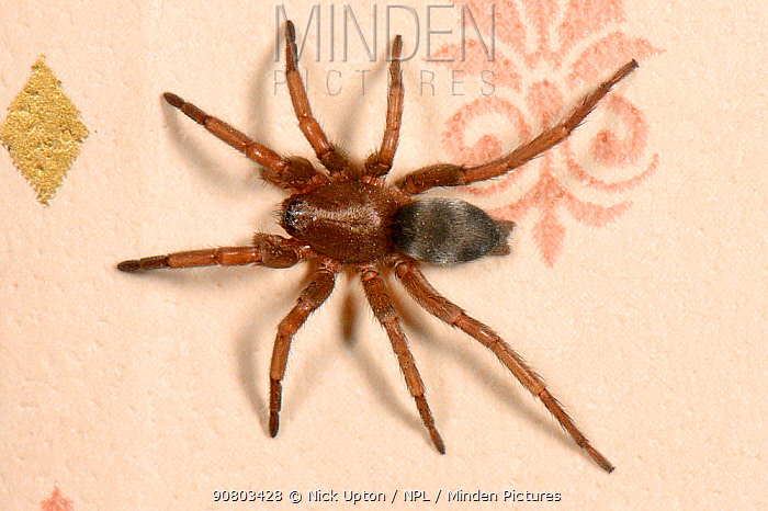 Mouse spider (Scotophaeus blackwalli) female on a bedroom wall, Wiltshire, UK, October.