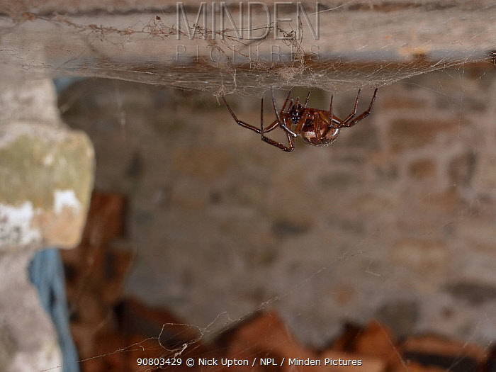 Noble false widow spider (Steatoda nobilis) female, Britain's most poisonous spider which probably reached the UK in cargo ships from the Canary islands, hanging in her web in a garden wood shed, near Wells, Somerset, UK, September.