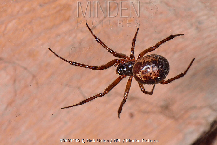 Noble false widow spidow (Steatoda nobilis) female, Britain's most poisonous spider which probably reached the UK in cargo ships from the Canary islands, hanging in it web in a garden wood shed at night, near Wells, Somerset, UK, September.