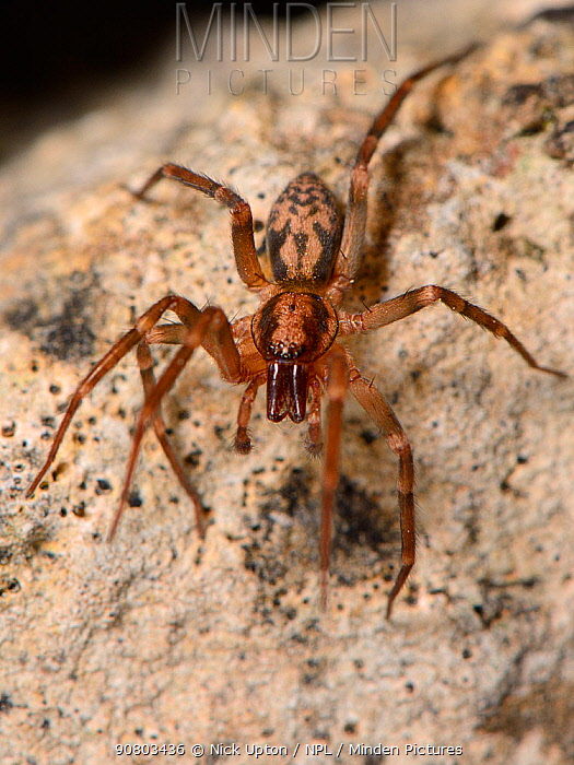 Running foliage spider / Spiny-legged sac spider (Liocranum rupicola), a nationally scarce species in the UK, hunting at night in an old stone wall, Wiltshire, UK, September.