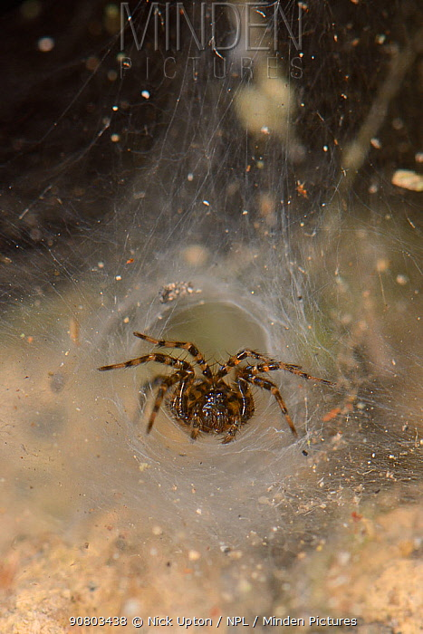 Toothed weaver spider (Textrix denticulata) female at the entrance to her silken funnel retreat in an old stone wall, Wiltshire, UK, October.