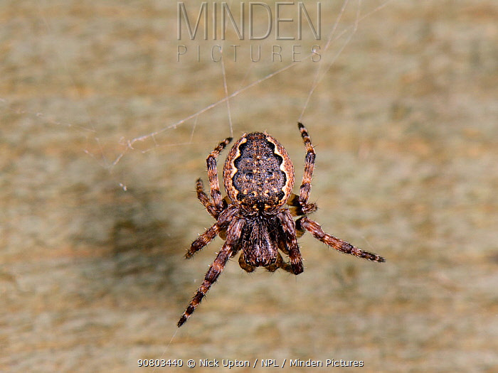 Walnut orb-weaver spider (Nuctenea umbratica) female, on its web on a garden fence at night, Wiltshire, UK, October.