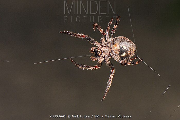 Walnut orb-weaver spider (Nuctenea umbratica) female spinning its web at night between the legs of a garden table, near Wells, Somerset, UK, September.